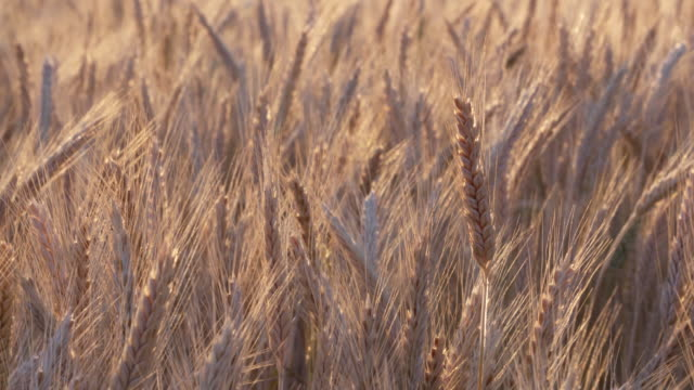 dolly shot of colorful ripe golden barley in field, close up. bavaria, germany. - barley stock videos and b-roll footage