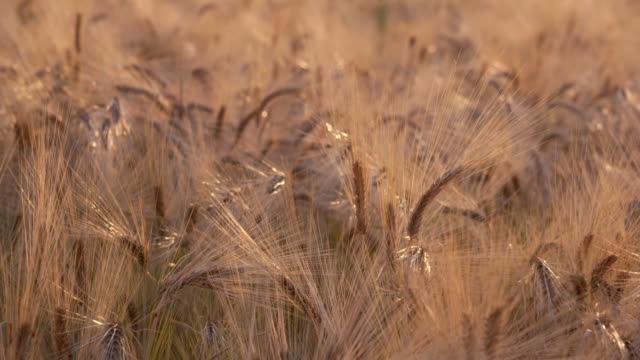 dolly shot of colorful ripe golden barley in field, close up. bavaria, germany. - stille stock-videos und b-roll-filmmaterial