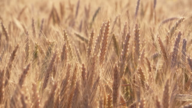 dolly shot of colorful ripe golden rye in field, close up. bavaria, germany. - weizen stock-videos und b-roll-filmmaterial