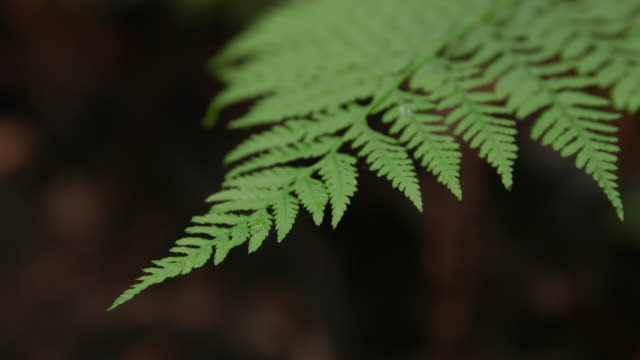 dolly shot of fern growing at redwood national and state parks - fern stock videos & royalty-free footage