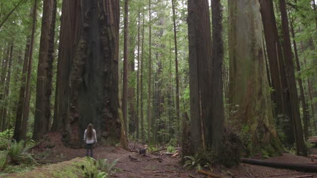 vídeos de stock, filmes e b-roll de dolly shot of man exploring redwood national and state parks - parque nacional de redwood