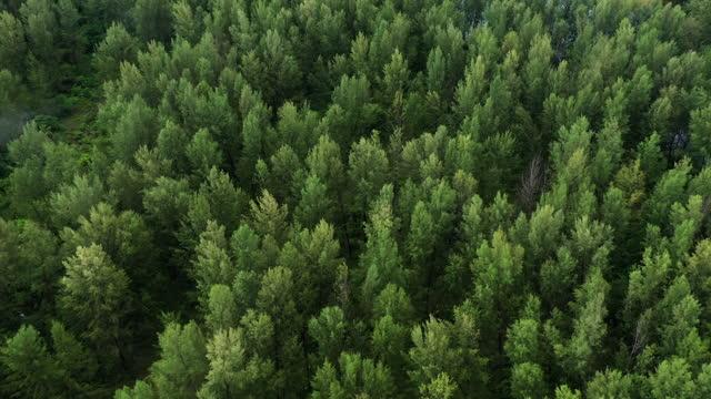 vídeos de stock, filmes e b-roll de dolly tiro de pine forest vista aérea - pinhal