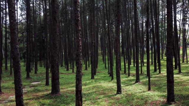 松林のドリーショットと松林への道 - 木材産業点の映像素材/bロール