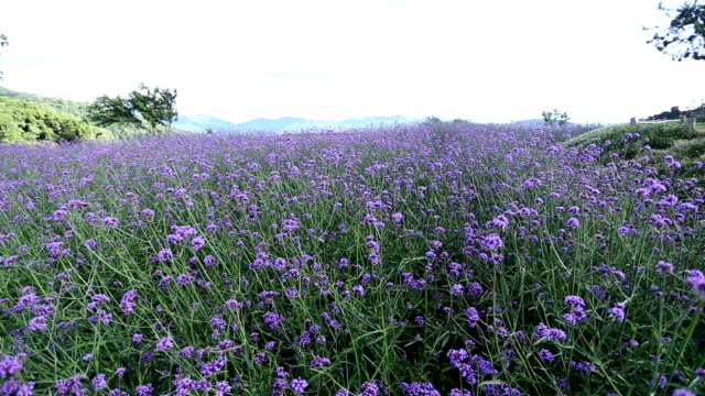 Dolly shot of purple flower