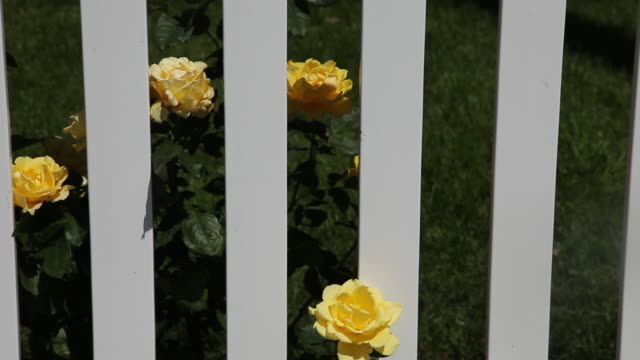 Dolly shot of white fence with yellow roses growing through.
