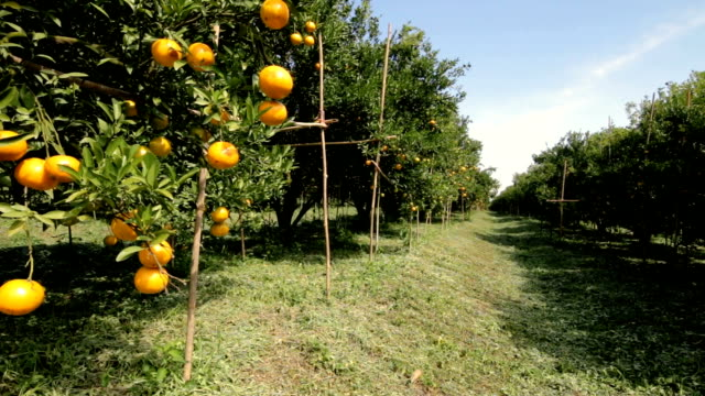 dolly shot orange trees in orchard - grove stock videos & royalty-free footage
