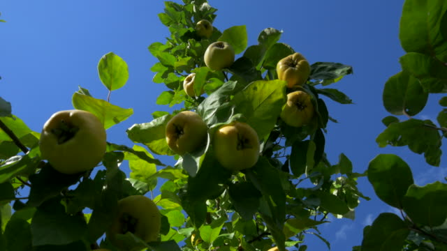 dolly shot, ripe quince fruit on top tree branches against blue sky