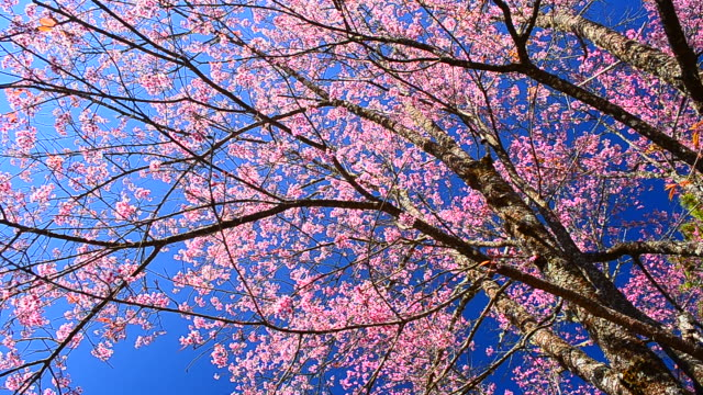 dolly shot: spring pink cherry blossoms with blue sky backgrounds - satoyama scenery stock videos & royalty-free footage