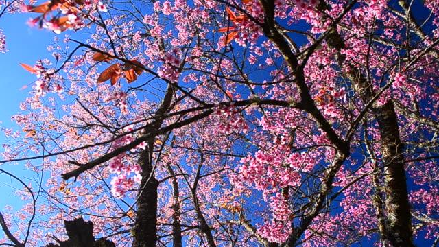 vídeos de stock, filmes e b-roll de câmera em movimento: primavera flores de cereja rosa com fundo azul céu - full hd format