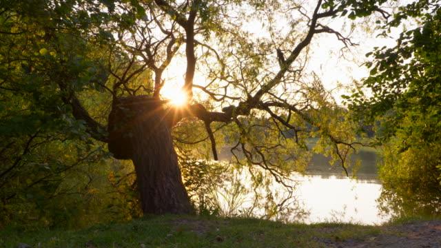 Dolly Shot. Sunbeams through interesting tree on lake (Prerower Strom). Prerower Strom, Prerow, Darß, Darß Peninsula, Fischland, Vorpommern-Rügen, Mecklenburg-Vorpommern, Germany.