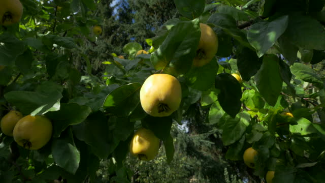 dolly shot, sunlight on ripe quince and leaves