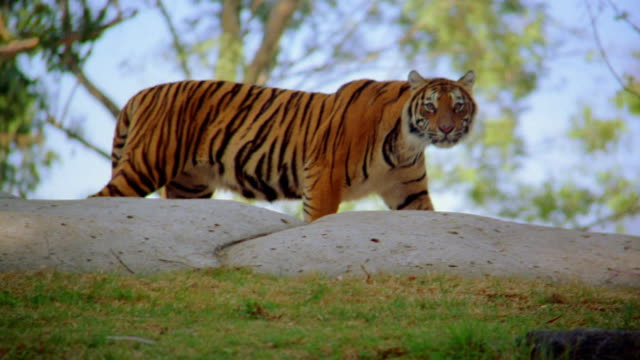 dolly shot tiger walking along hilltop before crouching inside pen - tiger stock videos & royalty-free footage