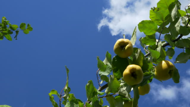 dolly shot, tops of quince tree with ripe fruit and white clouds in blue sky           ue