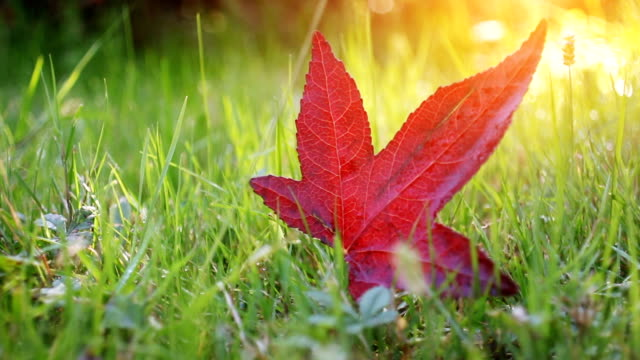 dolly shot vibrant red autumn leaf in park - maple leaf stock videos and b-roll footage