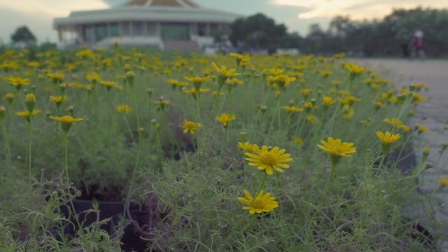 vídeos y material grabado en eventos de stock de carro de tiro; campo de flor amarillo cosmos. - mckyartstudio