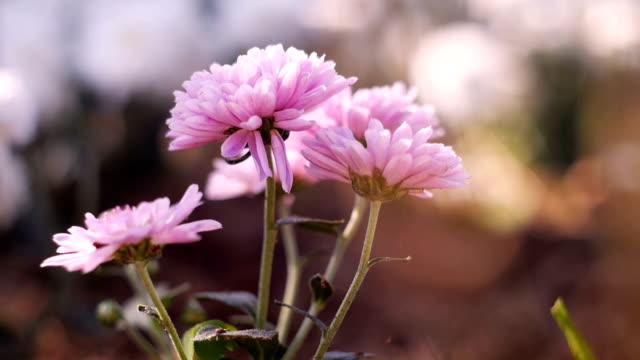 ドリー ショット - 自然の中菊の花壇にズームイン - 焦点点の映像素材/bロール