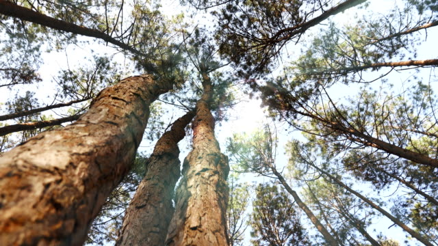 dolly shot:sunlight through pine forest - evergreen stock videos & royalty-free footage