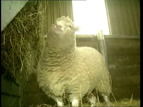 dolly the sheep dies itn lib from server edinburgh roslin institute dolly the cloned sheep in pen graphic still professor ian wilmut dolly the sheep... - cloning stock videos & royalty-free footage