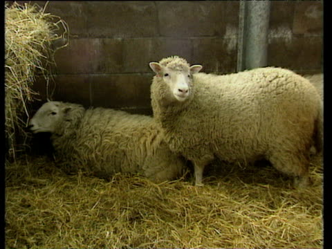 dolly the sheep in pen with another sheep in scotland dolly the cloned sheep; 27 feb 97 - cloning stock videos and b-roll footage