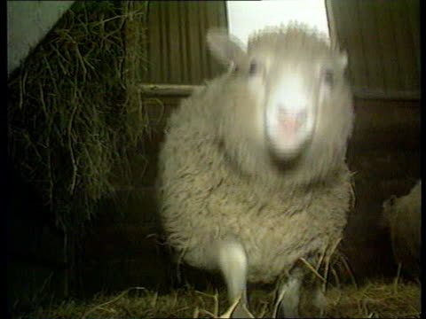 gv dolly the sheep in pen with others sheep along in pen dolly with red tag on ear tbv sheep in pen cs sheep looking out thru bars - tag 2 stock-videos und b-roll-filmmaterial