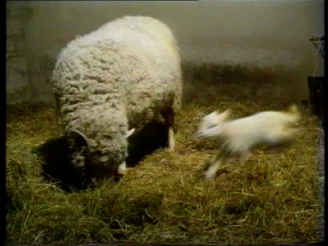 lamb born; media link vnr scotland: int lamb of dolly the sheep prancing around her mother in her stall bonnie the lamb in stall bonnie prancing... - sheep stock videos & royalty-free footage