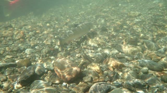 dolly varden fish - kenai peninsula stock videos & royalty-free footage