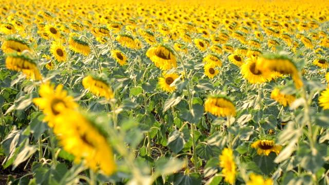 Transportwagen :  Bisher Sonnenblumen Baum am Nachmittag