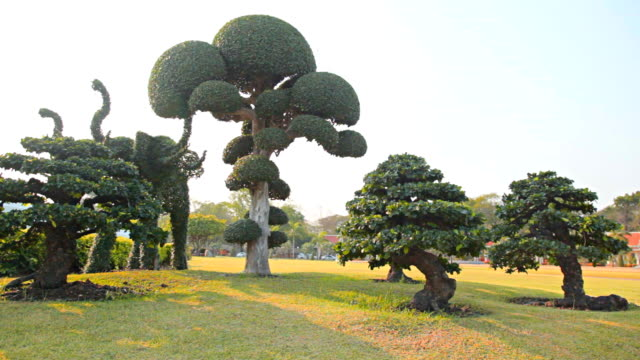 HD Dolly:Bonsai trees were planted on lawn in the park.