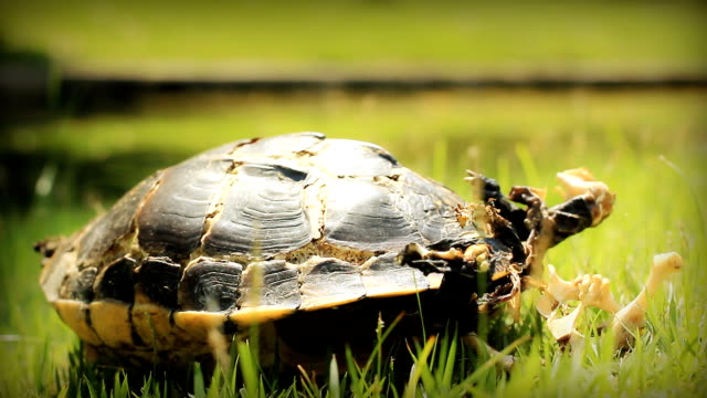 HD dolly:Dead turtle.