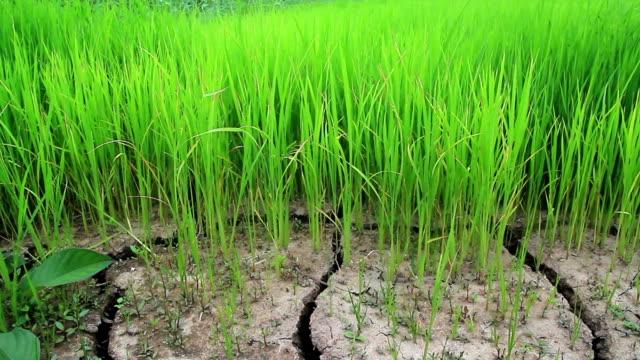 DOLLY: Green Reis
