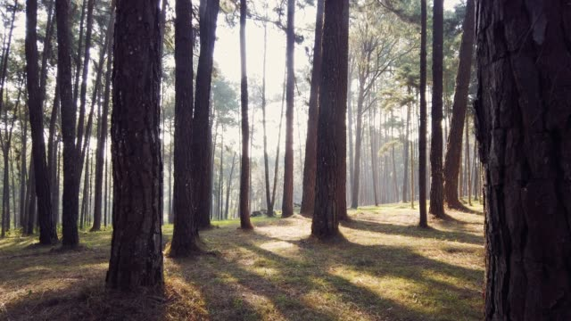 dollying in pine forest with sunshine through pine trees and blue sky - fir tree stock videos and b-roll footage