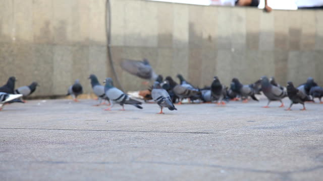 hd dolly:pigeons are walking for food on the ground. - flock of sheep stock videos and b-roll footage