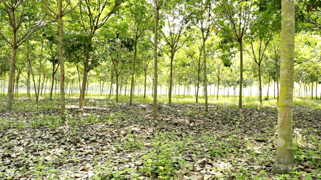 HD Dolly:Plantation rubber trees