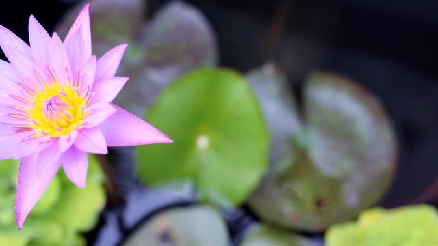 hd dolly:purple water lily in pond. - tiger lily stock videos & royalty-free footage