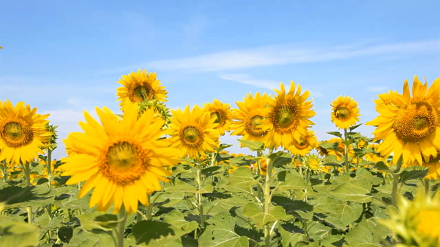 hd dolly:sunflower fields in season - sunflower stock videos and b-roll footage