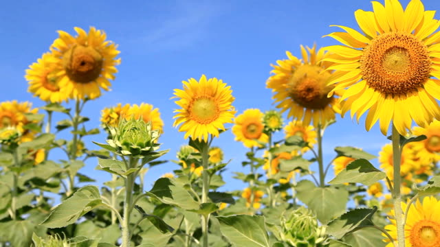 stockvideo's en b-roll-footage met hd dolly:sunflower in a field of sunflowers. in the morning sky - steekwagen