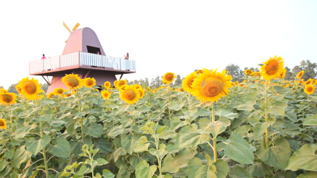 stockvideo's en b-roll-footage met dolly:sunflower in sunflower field - steekwagen