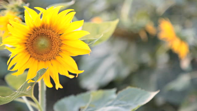 stockvideo's en b-roll-footage met dolly:sunflower plantations at evening. - steekwagen