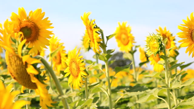 HD DOLLY:sunflower.