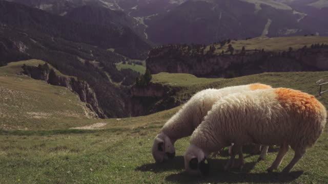 dolomites scenics view: sheep grazing - pascolare video stock e b–roll
