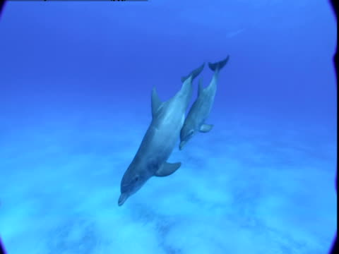 vídeos de stock e filmes b-roll de dolphin and calf swim together over a sandy seabed in the bahamas. - cetáceo