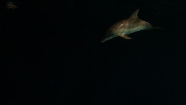 Dolphin at night