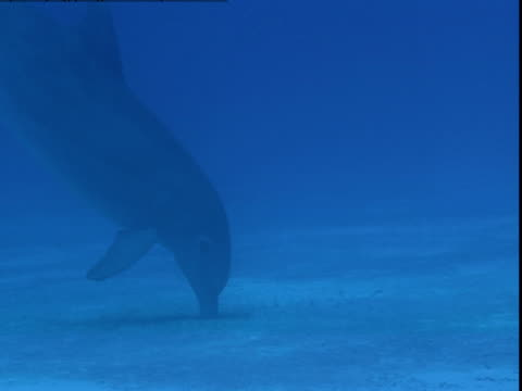 A dolphin burrows for food in a sandy seabed.