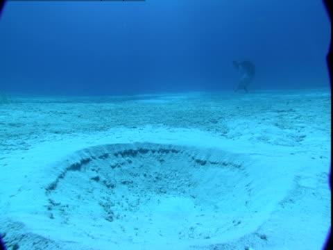 vídeos y material grabado en eventos de stock de a dolphin burrows in a sandy seabed hunting for buried prey. - cráter