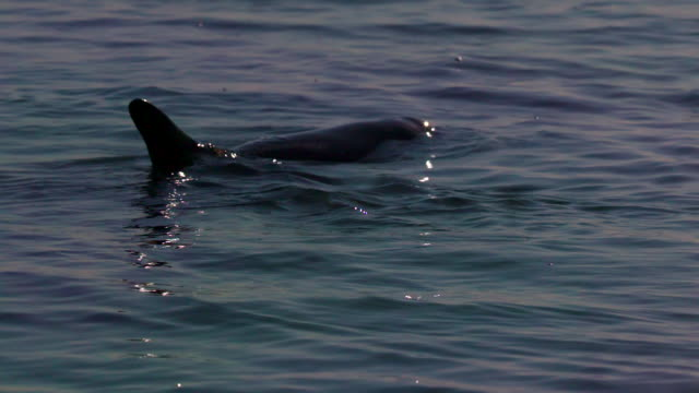 dolphin coming out of the water - cetacea stock videos & royalty-free footage