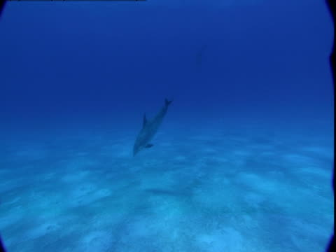 a dolphin descends to a sandy seabed. - cetacea stock videos & royalty-free footage