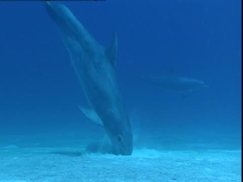 vídeos y material grabado en eventos de stock de a dolphin digs its snout in a sandy seabed where it hunts for food. - nariz de animal