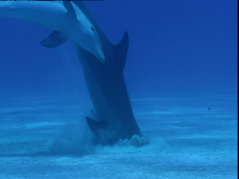 vídeos de stock e filmes b-roll de a dolphin digs its snout into the ocean floor. - vir à superfície