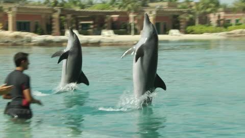 dolphin dubai united arab emirates - animals in captivity stock videos & royalty-free footage