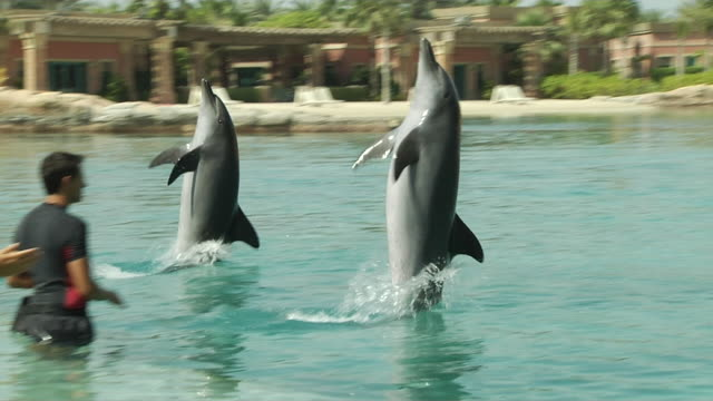 dolphin dubai united arab emirates - captive animals stock videos & royalty-free footage